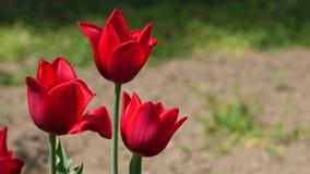Flores rojas ricas del tulipán del híbrido de Kingsblood en el viento apacible, 4K almacen de metraje de vídeo