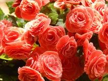 Flores rojas simples en verde de la naturaleza Fotos de archivo libres de regalías