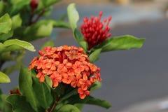 Flores rojas simples en verde de la naturaleza Imagen de archivo