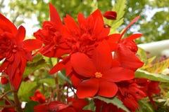Flores rojas vibrantes Fotos de archivo libres de regalías