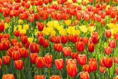 Flores rojas y amarillas de los tulipanes Foto de archivo libre de regalías