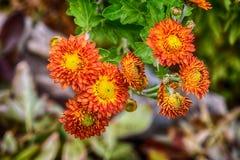 Flores rojas y amarillas en el jardín en la cabaña Fotografía de archivo