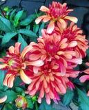 flores rojas y anaranjadas de la dalia Imágenes de archivo libres de regalías