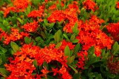 Flores rojas y anaranjadas de la textura hermosa del extracto del punto foto de archivo