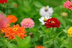 Flores rojas y anaranjadas del zinnia Fotografía de archivo libre de regalías