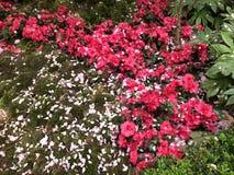 Flores rojas y blancas en jardines por la bahía Singapur imagen de archivo