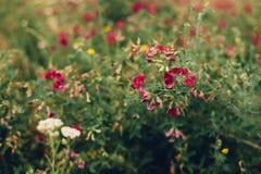Flores rojas y blancas hermosas en el campo Foto de archivo