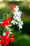 Flores rojas y blancas hermosas en un fondo del verdor en el jardín Primer fotos de archivo