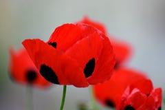 Flores rojas y negras hermosas Fotos de archivo