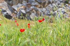 Flores rojas y pared de piedra, símbolo de la amapola para el día de la conmemoración Fotografía de archivo libre de regalías