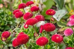 Flores rojas y rosadas Imagen de archivo libre de regalías