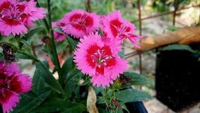 Flores rojas y rosadas del asiaticus del var del barbatus del clavel de la mezcla del color foto de archivo libre de regalías