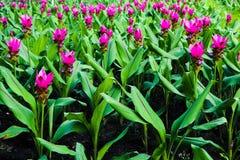 Flores rojas y rosadas del color hermoso del extracto en los parques del jardín público fotografía de archivo