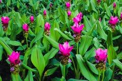 Flores rojas y rosadas del color hermoso del extracto en los parques del jardín público fotografía de archivo libre de regalías