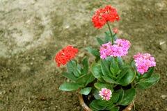Flores rojas y rosadas en pote Foto de archivo
