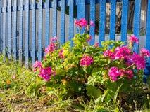 Flores rojas y valla de estacas azul Imagen de archivo libre de regalías