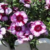 flores Rojo-y-blancas Imagen de archivo libre de regalías