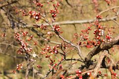 Flores rojos de la manzana Foto de archivo