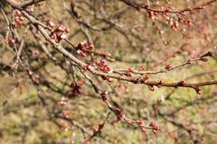 Flores rojos de la manzana Imágenes de archivo libres de regalías