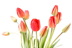 Flores rojos de los tulipanes Fotos de archivo libres de regalías