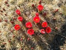 Flores rojos del cactus imagenes de archivo