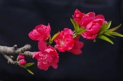 El flor del melocotón Fotos de archivo