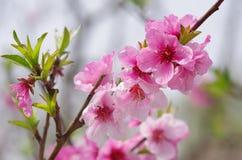 El flor del melocotón Fotos de archivo libres de regalías