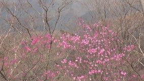 Flores rojos pálidos de la azalea almacen de metraje de vídeo