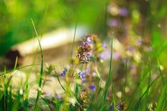 Flores románticas violetas y rayos verdes del hierba y amarillos del sol a Foto de archivo libre de regalías