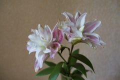 Flores rosáceas grandes del lirio oriental doble fotografía de archivo libre de regalías