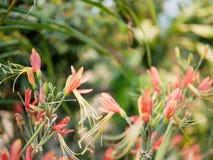 flores Rosáceo-anaranjadas de Eucrosia bicolores, lirio peruano, en luz del sol de la mañana en un fondo del defocus foto de archivo
