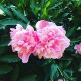 Flores rosadas Foto de archivo