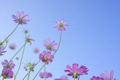 Flores rosadas. Foto de archivo libre de regalías