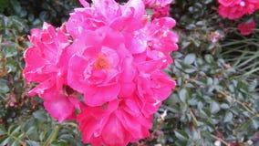 Flores rosadas Imagen de archivo libre de regalías