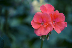 Flores rosadas Fotografía de archivo libre de regalías