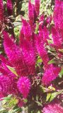 Flores rosadas fotos de archivo libres de regalías