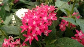 Flores rosadas Fotografía de archivo