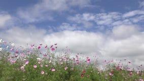 Flores rosadas alineadas del cosmos metrajes
