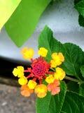 Flores rosadas, anaranjadas y amarillas del lantana Fotos de archivo libres de regalías
