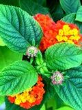 Flores rosadas, anaranjadas y amarillas del lantana Imagen de archivo