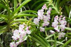 Flores rosadas blancas de la orquídea de Beautuful con los brotes Imágenes de archivo libres de regalías