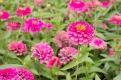 Flores rosadas brillantes Fotografía de archivo libre de regalías