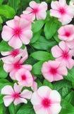 Flores rosadas brillantes del Catharanthus Fotos de archivo