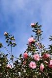 Flores rosadas - camelia Fotografía de archivo
