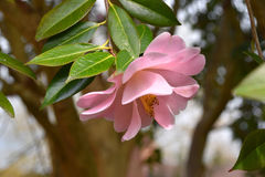 Flores rosadas - camelia Imagenes de archivo