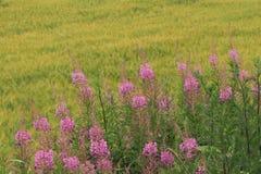 Flores rosadas cerca del campo de maíz verde foto de archivo libre de regalías