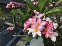 Flores rosadas, clavel Fotos de archivo libres de regalías