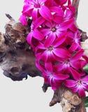 Flores rosadas coloridas del jacinto en rama Imagen de archivo libre de regalías