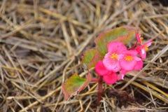 Flores rosadas coloridas en la paja del arroz foto de archivo