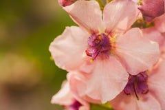 Flores rosadas con el centro púrpura imágenes de archivo libres de regalías